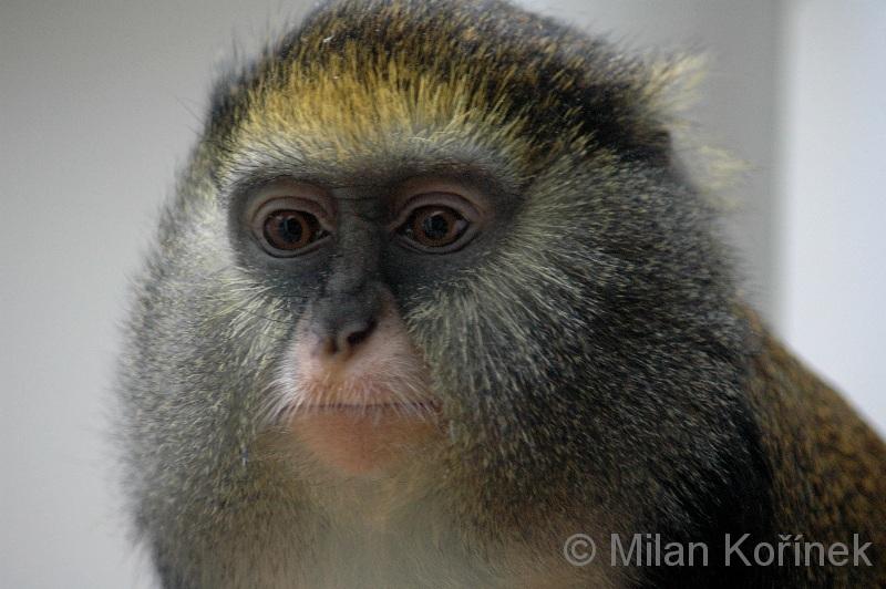 Campbells Monkey