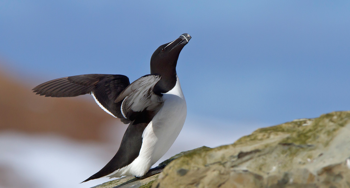 Is the Great Auk a Candidate f...